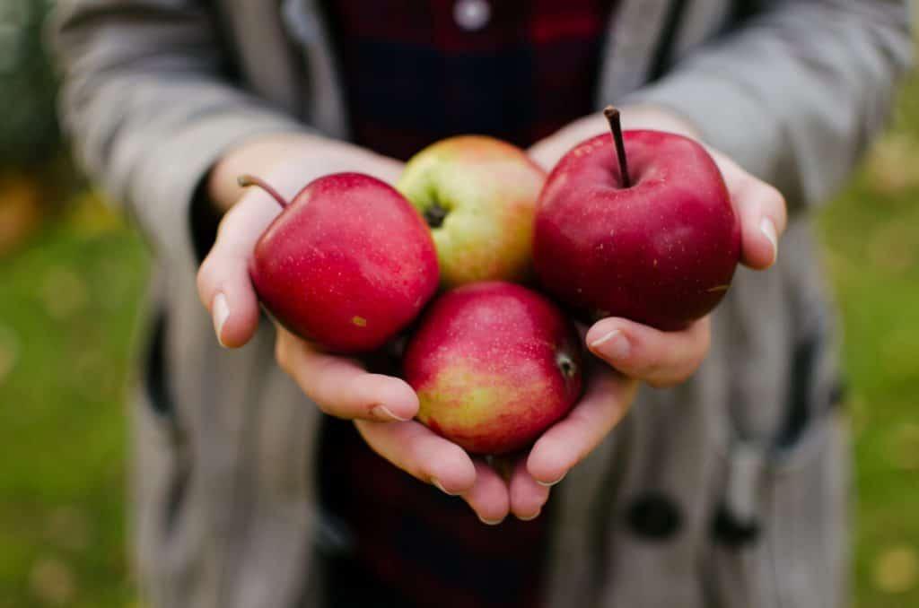 Personne tenant des pommes dans ses mains pour faire du cidre