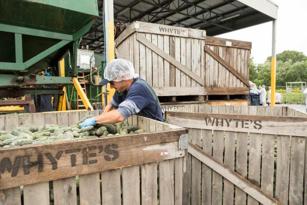 Triage des concombres - Aliments Whyte's