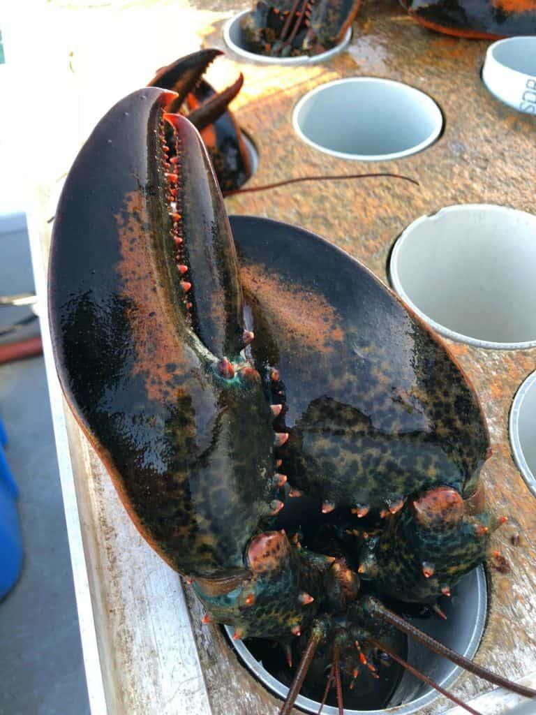 Grosse pince de homards - Pêche aux Îles de la Madeleine