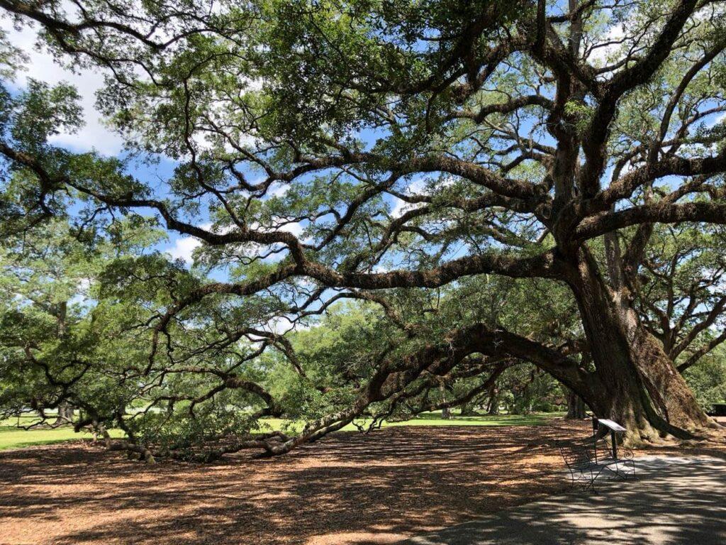 chene centenaire - Oak Alley Plantation
