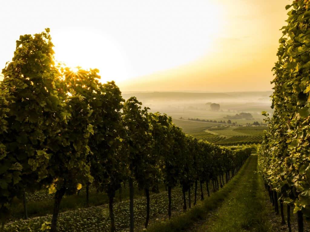 Champs de vigne