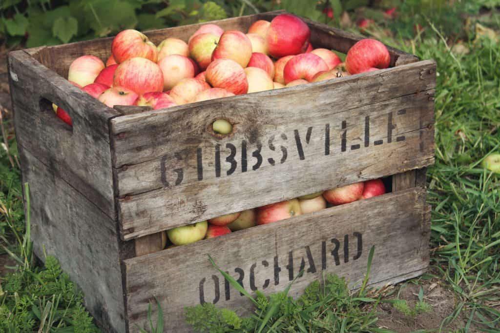 Cueillette de pommes - Montérégie