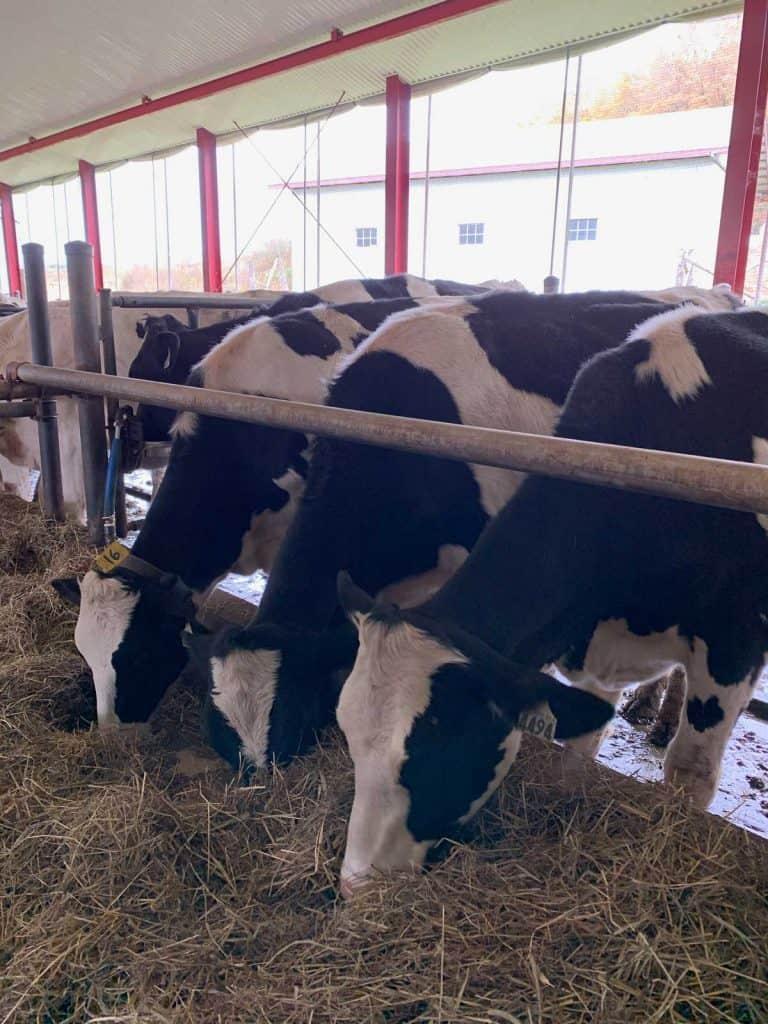 Les vaches de la ferme Vallée Verte
