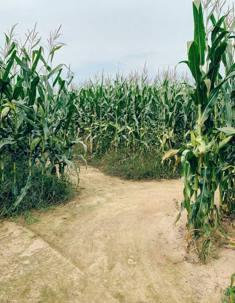 Labyrinthe de maïs - Ferme Guy RIvest