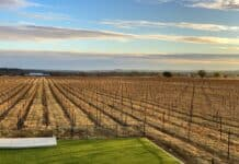 Vue sur les vignes du Vignoble Augusta Vin à Fredericksburg - Texas