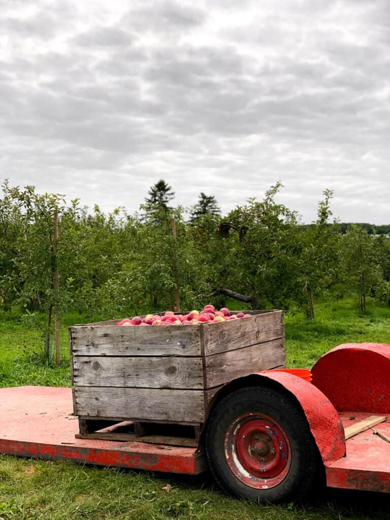 Caisse remplie de pommes dans un verger