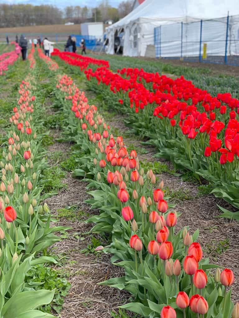 Tulips field in Laval